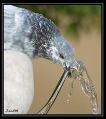 Paloma (J.Luna) Tags: animal agua paloma córdoba sed palomaagua palomabebiendo