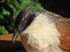 Burchell's Coucal (biancapreusker) Tags: red game bird eye animal wildlife aves safari coucal canonpowershots2 centropussuperciliosus centropusburchelli pfogold beautifulworldchallenges burchelscoucal