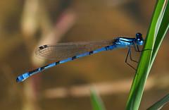 Enallagma cyathigerum (Coenagrionidae) (Antnio A Gonalves) Tags: odonata naturesfinest enallagmacyathigerum coenagrionidae peregrino27newvision