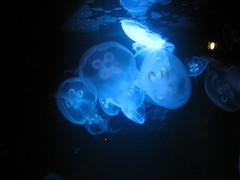 Jelly Fish (ABarrett) Tags: blue fish jellyfish jelly