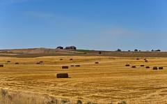 Alfalfa Harvest (aeschylus18917) Tags: japan tokyo danielruyle aeschylus18917 danruyle druyle nikon d700 ダニエルルール ダニエル ルール alfalfa hay bales farm farming harvest haybales oregon field agriculture pxi pxt