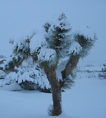 Joshua Tree in Snow
