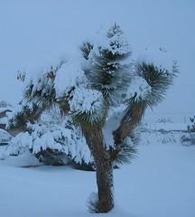 Joshua Tree in Snow