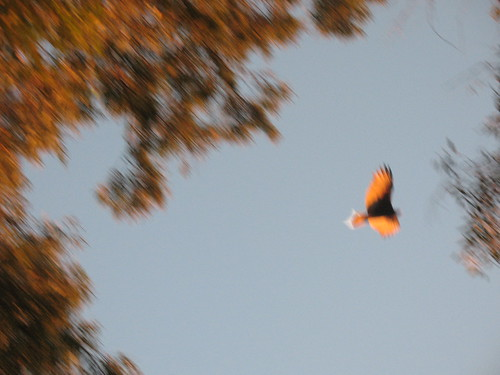 Turkey vulture in on way to evening roost