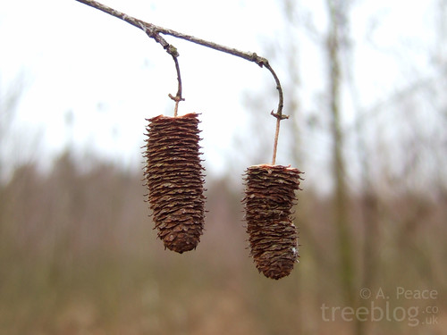 silver birch seed catkins