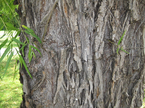 WillowBark