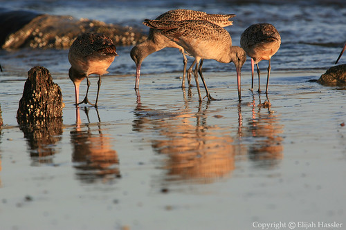 Marbled Godwits by right2roam