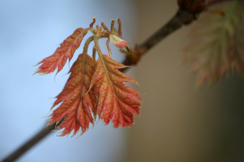 oak leaves 012