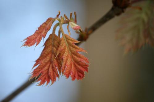 oak leaves 012