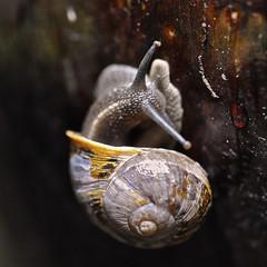 U-turn (Lisa Karloo) Tags: macro nature snail 2011 snailhouse digitalcameraclub project365 2011inphotos