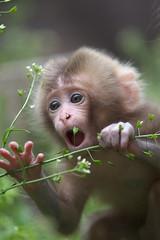 Tasting (Masashi Mochida) Tags: snow japan monkey nagano jigokudani coth supershot impressedbeauty