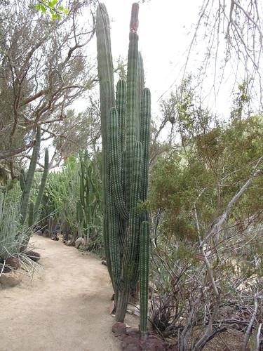 pachycereus pecten-aboriginum form