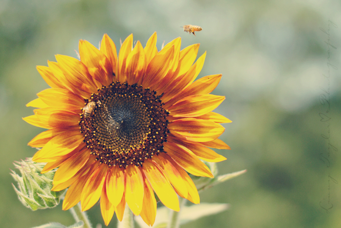 Sunflowers and Honeybees