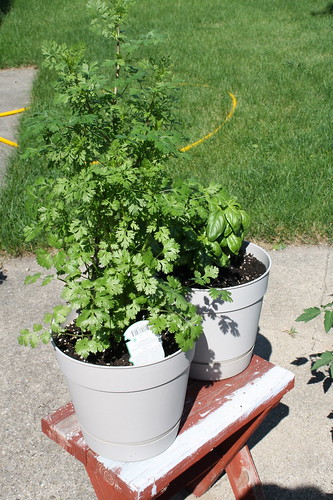 Cilantro and Basil plants
