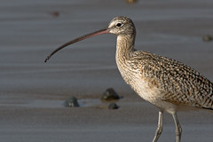 Long-Billed Curlew (Numenius americanus) by mikebaird at Flickr!