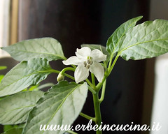 Cedrino pepper flower (January) (erbeincucina) Tags: pepper peperoncino cedrino