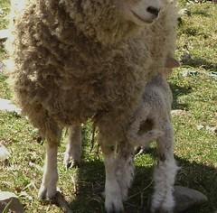 bandit's lamb 008