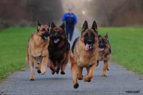 dogs running at full pace!