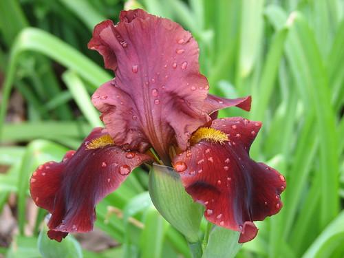 Iris 'Red at Night'