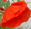 Storm Beaten Poppies