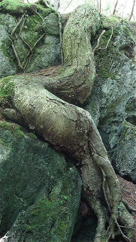 sinuous roots