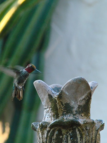 hummingbird coming in for a bath