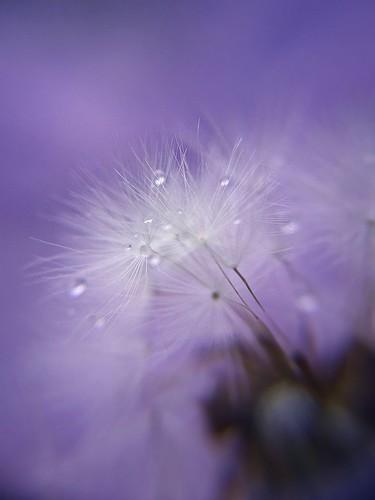 フリー写真素材, 花・植物, キク科, タンポポ, 種子, 雫・水滴, パープル,