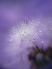 [フリー画像] 花・植物, キク科, タンポポ, 種子, 雫・水滴, パープル, 200807140000