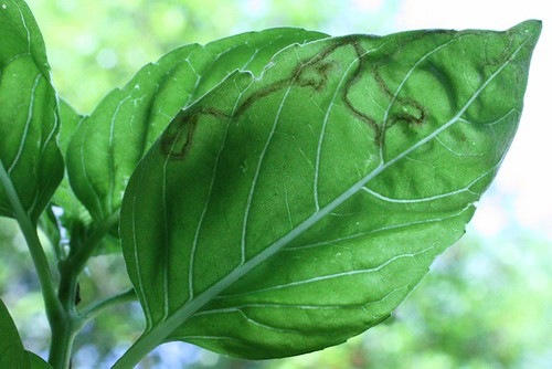 20080528 - Leaf miner damage