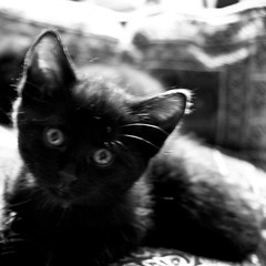 Blur (Gregory Bastien) Tags: blackandwhite bw cats pets paris france animal animals cat chats kitten chat noiretblanc kitty kitties animaux chaton chatons blackwhitephotos pentaxk10d gregorybastien parisianphotography ildedefrance