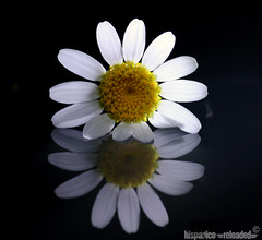 daisy on a mirror (HiSpAnIcO[reloaded]) Tags: fab flower macro canon eos mirror jim giallo daisy morrison fiore petali bianco soe margherita specchio particolari artcafe aforismi golddragon 450d aplusphoto diamondclassphotographer flickrdiamond thatsclassy overtheexcellence flickrlovers worldglobalaward globalworldawards