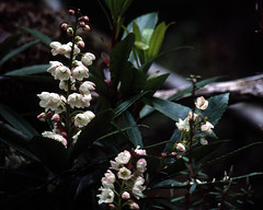 200011 045 Tasmanian Laurel (williewonker) Tags: pink trees white flower nature water river landscape bell australia gordon area tasmania laurel worldheritage tasmanian franklingordonwildriversnationalpark escalloniaceae arfp tasmanianlaurel anopterusglandulosus tasmanianrainforestplants anopterus trfp arfflowers whitearfflowers cooltemperatearf wetsclerophyllaf