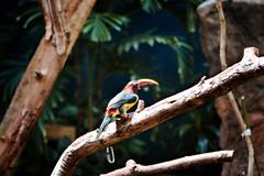 A Toucan's Cousin?