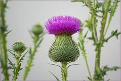On A Grey Day (Jeannot7) Tags: purple thistle bullthistle canadianthistle cirsiumvulgare