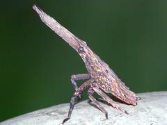 Anti-air Missile (CharlesLam) Tags: macro insect geotagged hongkong lanternbug kclama geo:lat=2238046 geo:lon=11421822