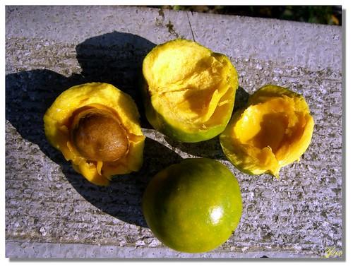 福木的果實