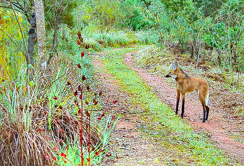 Visita do Lobo-Guará - Visit of the the Maned Wolf (Chrysocyon brachyurus).