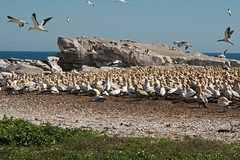 Gannets in Lamberts baai/Lamberts Bay (Knoffelhuisie Photography.) Tags: birds vogels gannets janvangent morus lambertsbay zuidafrika suidafrika southafrika lambertsbaai bassanus malgas witmalgas kaapsejanvangent voels
