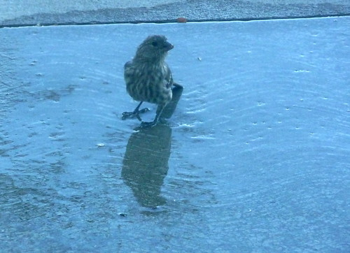bird in puddle