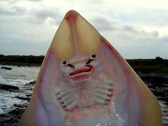 Sand Shark (mattharvey1) Tags: delete10 delete9 southafrica delete5 delete2 delete6 delete7 save3 delete8 delete3 delete delete4 save save2 save4 save5 save6 transkei sandshark deletedbythehotboxuncensoredgroup