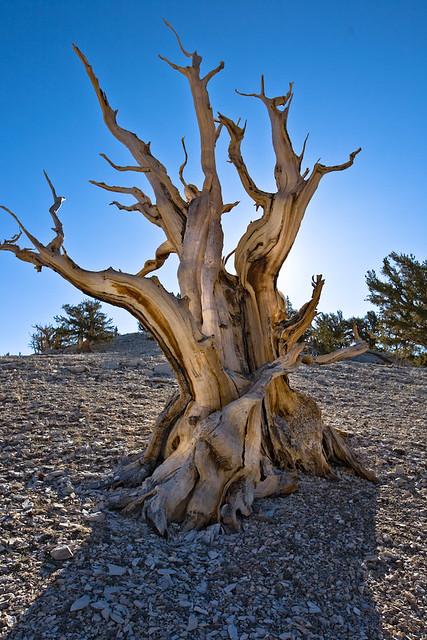 Bristle Cone Pine #5