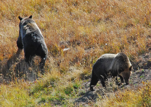 Grizzly Bear and Cub, Hayden Valley - 0364-b
