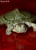 My Best Friend (Nouf Alkhamees) Tags: macro canon turtle 100mm alk nono dogma alkuwait الكويت ماكرو كانون سلحفاة نونو دقمة dagoom دقوم
