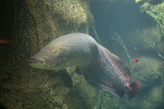 Arapaima (Arapaima gigas) (cliff1066) Tags: animal zoo washingtondc smithsonian rainforest wildlife nationalzoo species amazonia eastafrica arapaima southamerican dczoo amazonriver arapaimagigas