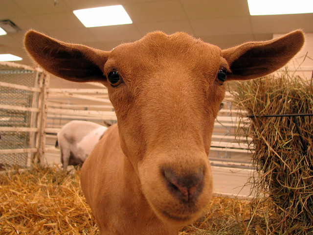 100 Things to see at the fair #1: Goats
