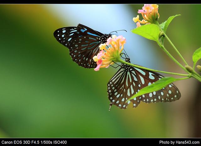 蝴蝶_Butterfly_13