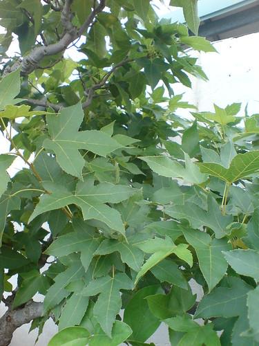 你拍攝的 家裡的楓樹。