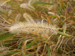 Spiga (Elanorya) Tags: foglie natura autunno bruco millefiori spiga spighe