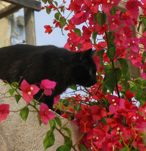 Black cat and bouganvilla