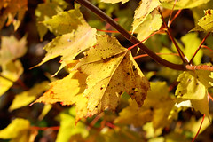Autumn Leaves (shutterbugMike) Tags: autumn autumnfoliage fallleaves fall leaf fallcolors newhampshire nh pemigewasset autumnleaves autumncolors fallfoliage pemi meredithnh autumninnewengland fallinnh fallinnewengland lakepemigewasset meredithnewhampshire autumninnh